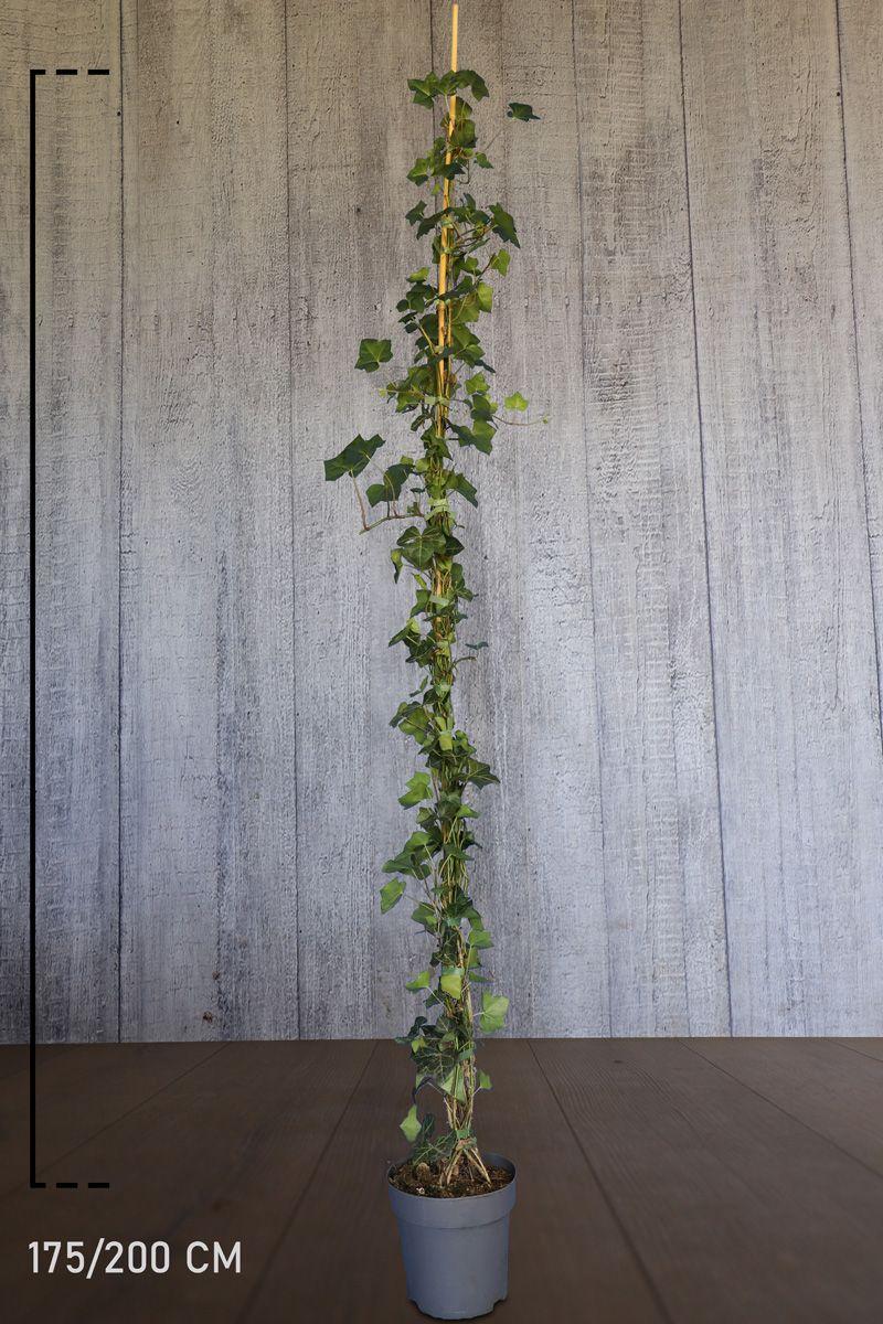 Irlanninmuratti Astiassa 175-200 cm