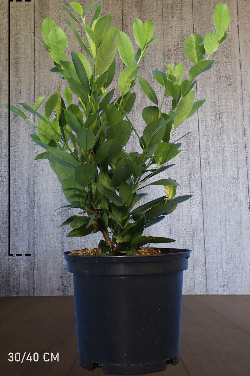 Laakerikirsikka 'Mano' Astiassa 30-40 cm