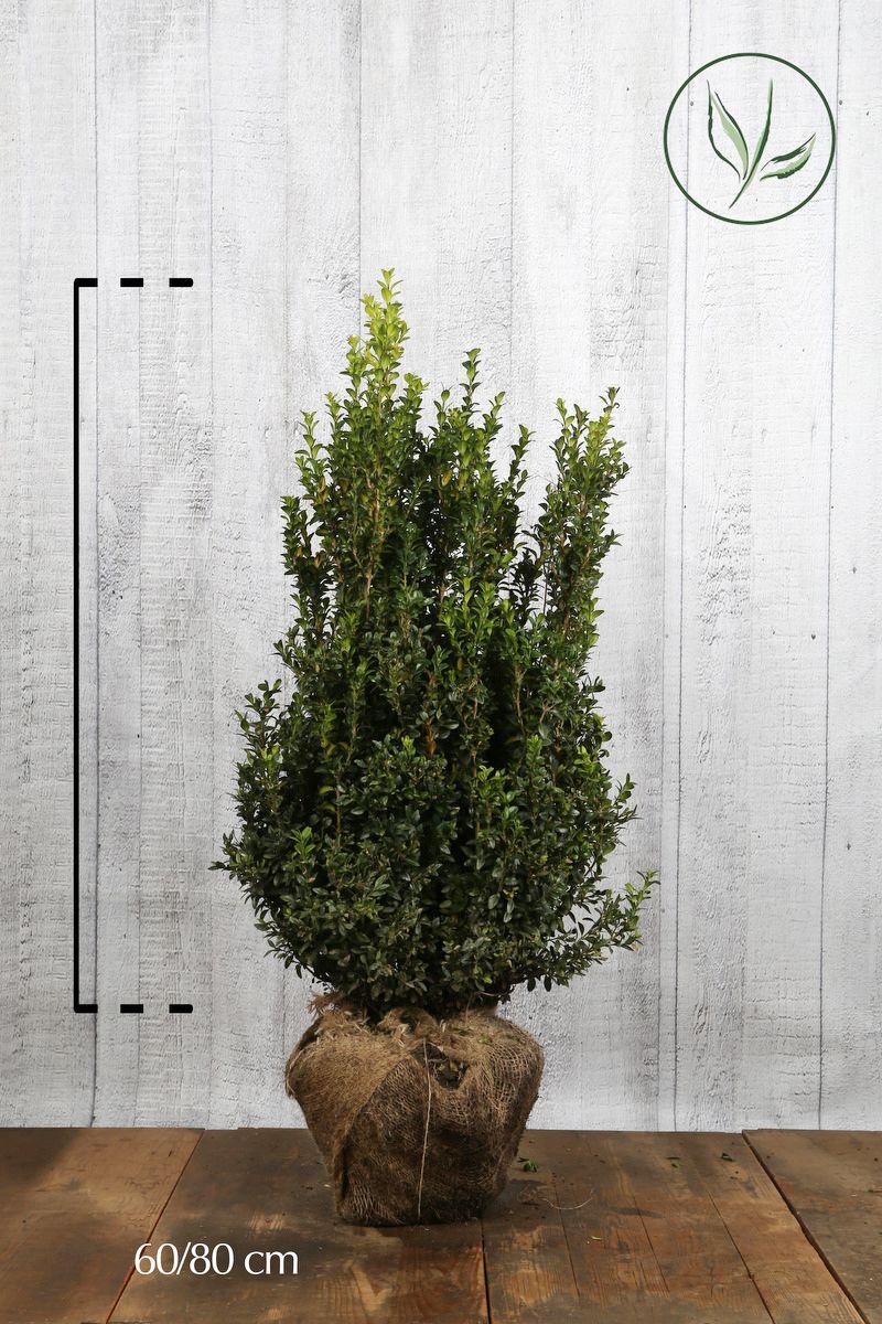 Isopuksipuu - pensaat Paakkutaimi 60-80 cm