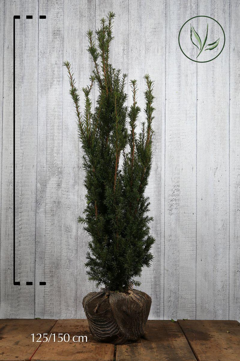 Kartiomarjakuusi 'Hicksii' Paakkutaimi 125-150 cm