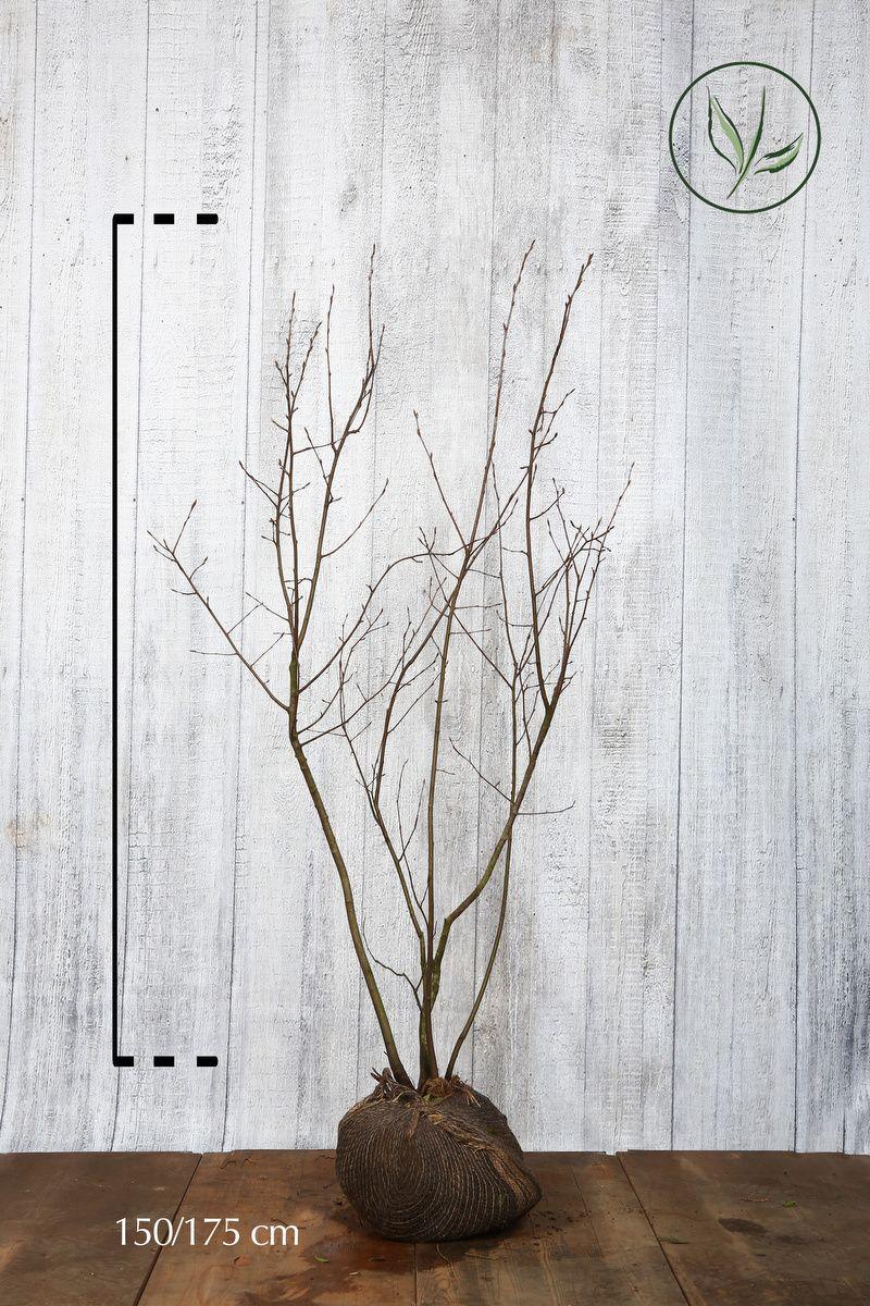 Rusotuomipihlaja Paakkutaimi 150-175 cm