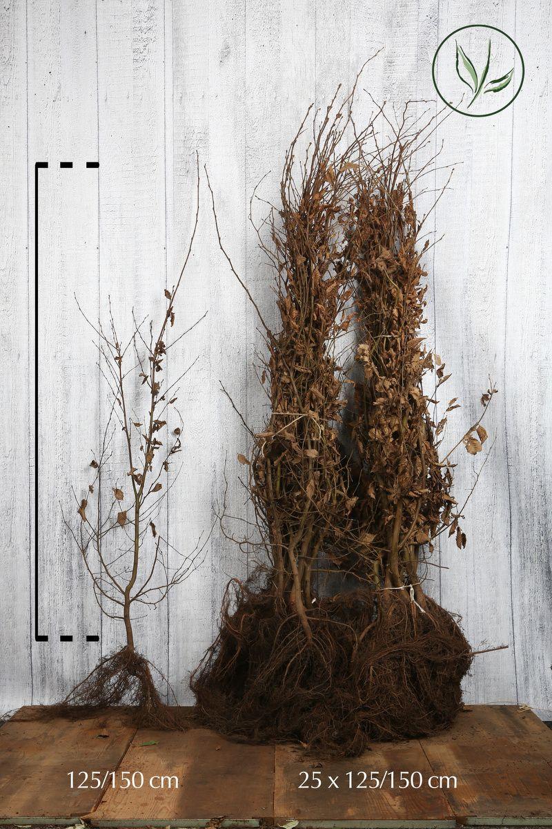 Valkopyökki Paljasjuuri 125-150 cm Erikoislaatu