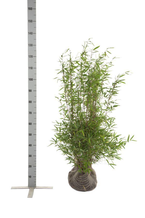 Kiiltoruokobambu  Paakkutaimi 80-100 cm