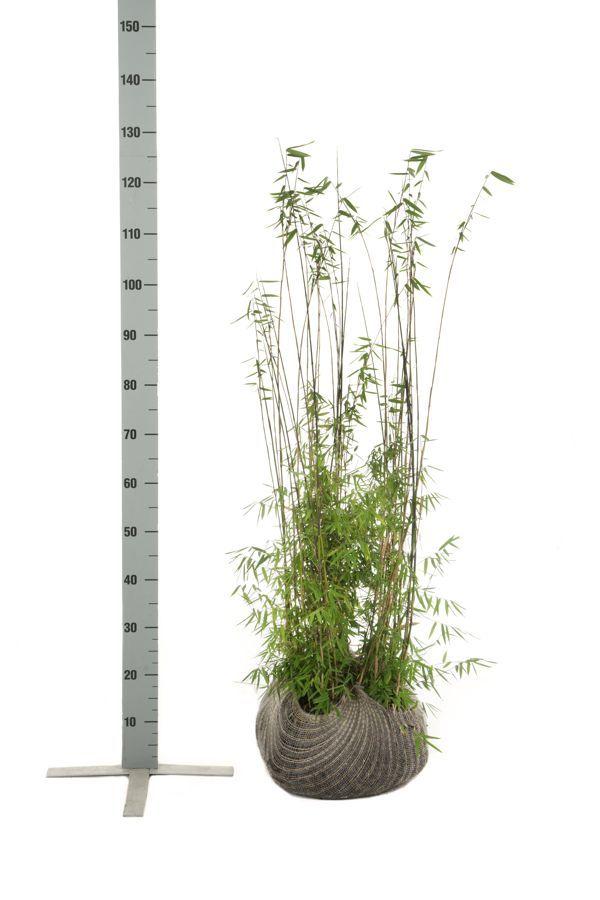 Kiiltoruokobambu 'Jiuzhaigou' Paakkutaimi 80-100 cm