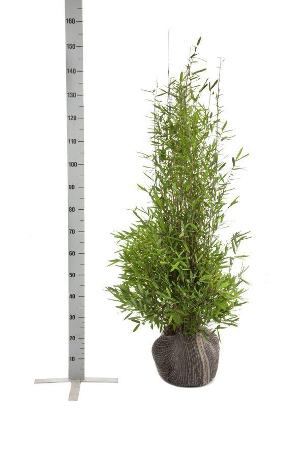 Kiiltoruokobambu  Paakkutaimi 100-125 cm