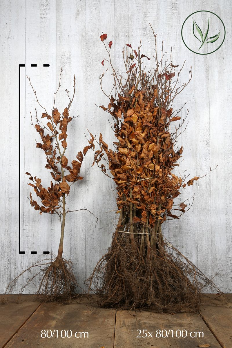 Veripyökki Paljasjuuri 80-100 cm Erikoislaatu