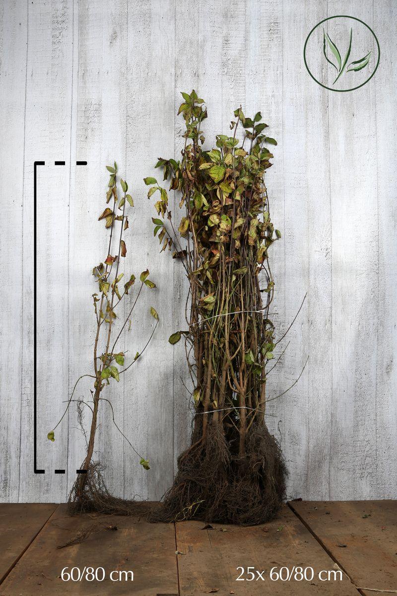Punamarjakanukka Paljasjuuri 60-80 cm