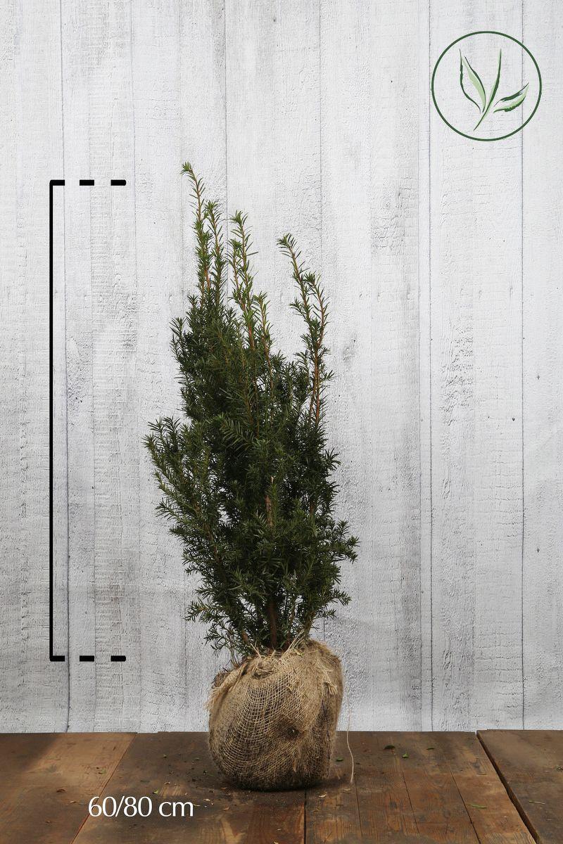 Kartiomarjakuusi 'Hicksii' Paakkutaimi 60-80 cm