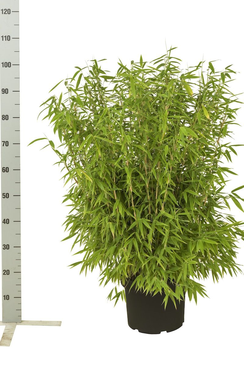 Vuoriruokobambu 'Simba' Astiassa 60-80 cm