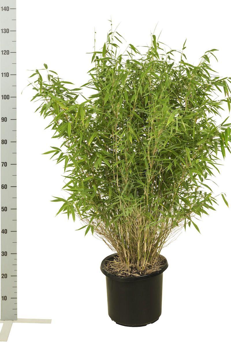 Vuoriruokobambu 'Jumbo' Astiassa 80-100 cm