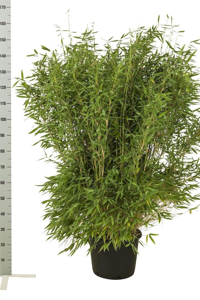 Vuoriruokobambu 'Jumbo' Astiassa 125-150 cm