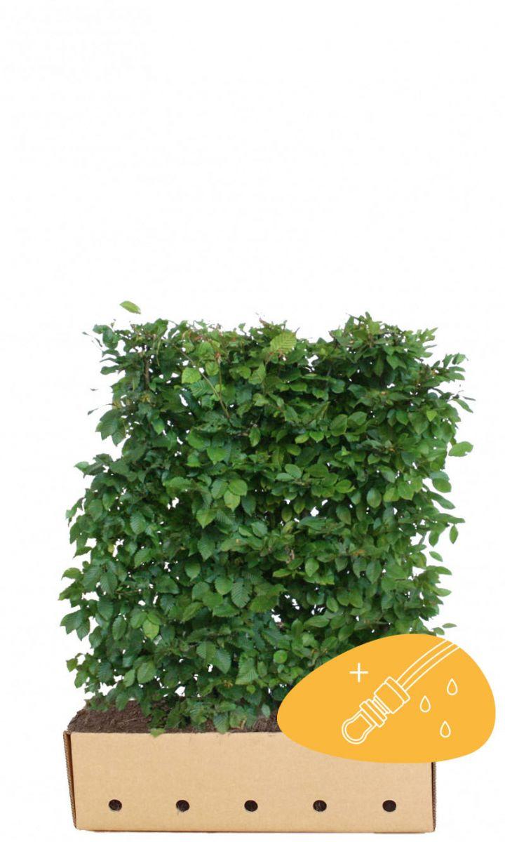 Valkopyökki Valmiit pensasaidat 120 cm Valmiselementti