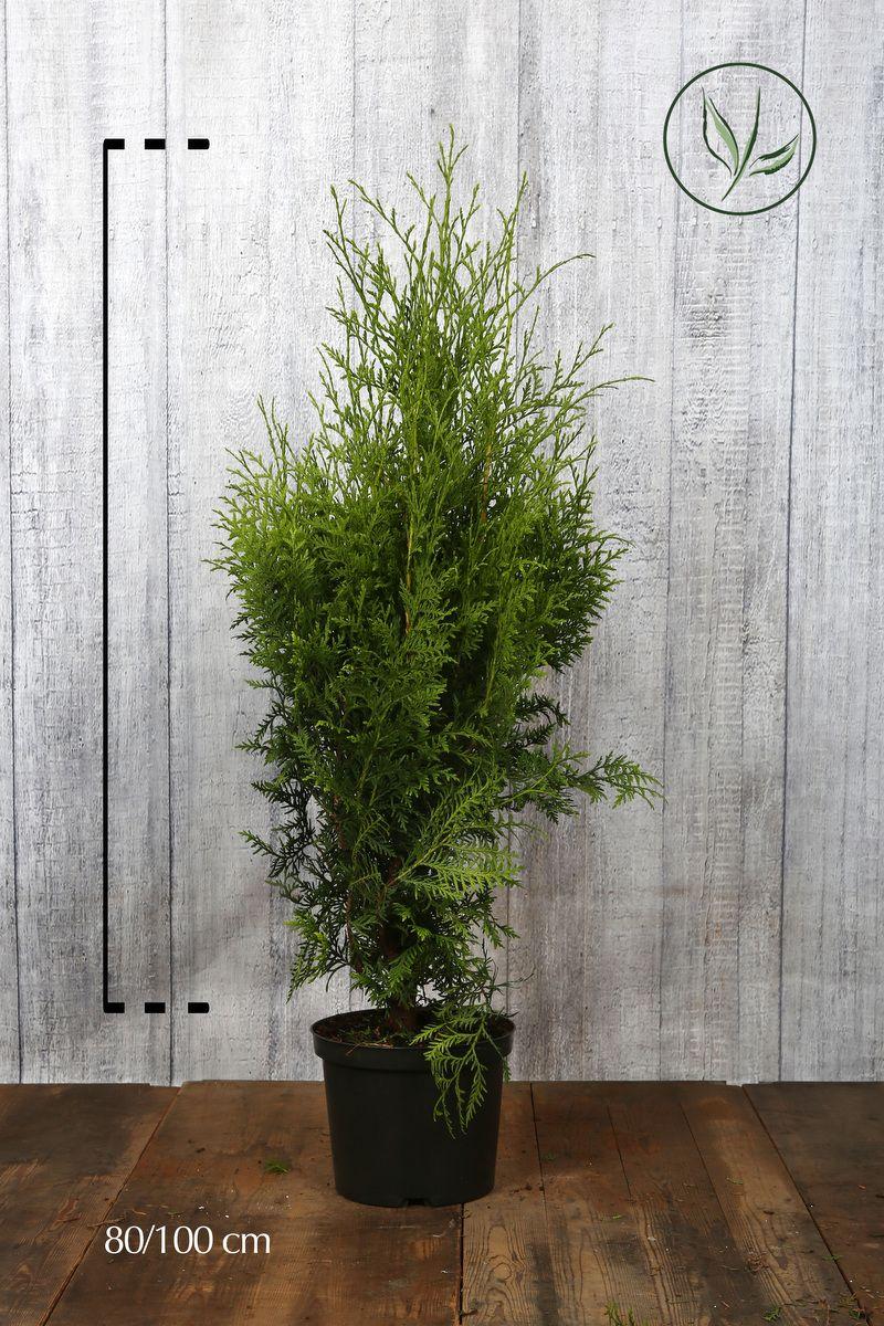 Kartiotuija 'Brabant' Astiassa 80-100 cm Erikoislaatu