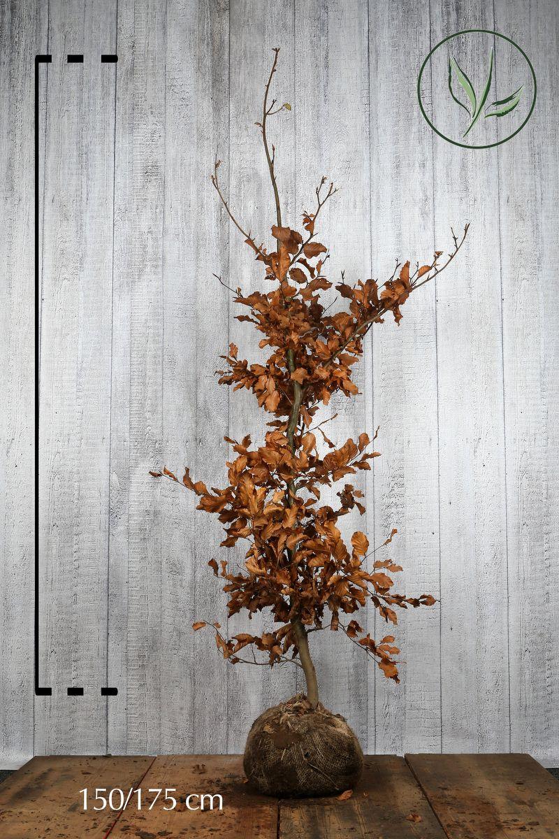 Euroopanpyökki Paakkutaimi 150-175 cm Erikoislaatu