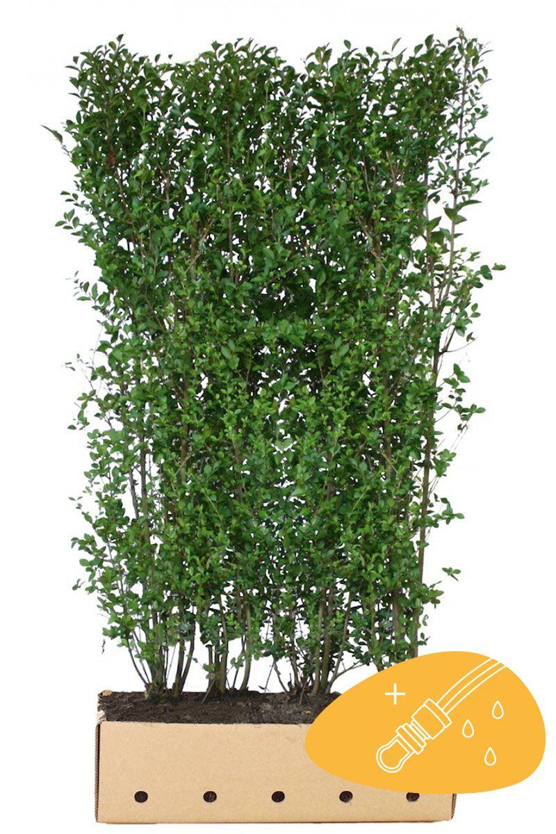 Ainavihanta aitalikusteri Valmiit pensasaidat 200 cm Valmiselementti