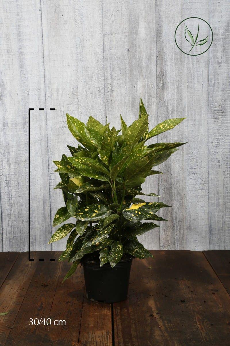 Kiiltopensas 'Crotonifolia' Astiassa 50-60 cm