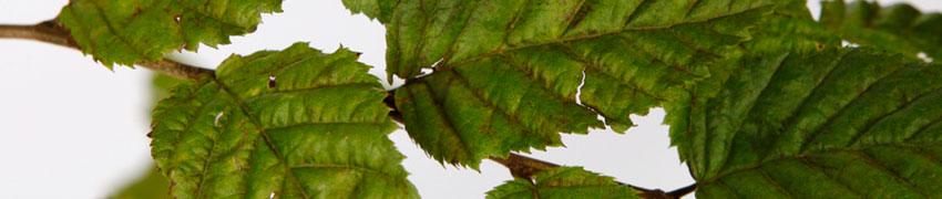 Euroopanvalkopyökki pensasaitakasvina