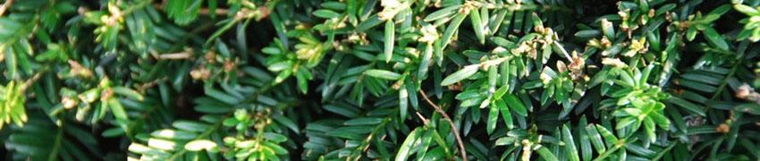 Marjakuusi – monipuolinen pensasaitakasvi
